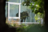 A young moose stands behind a window in an administration building of Siemens in Dresden, Germany Monday Aug. 25, 2014. (AP Photo)