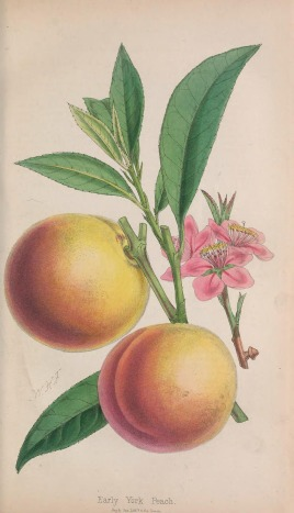 Early York Peach
